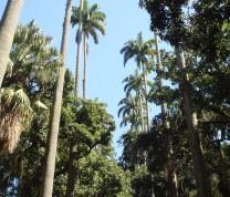 Rio de Janeiro Palm Trees