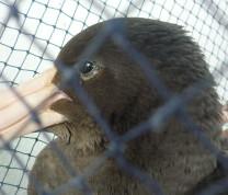 Wildlife Conservation Duck