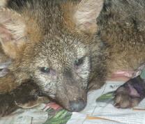 Wildlife Conservation Guará Wolf